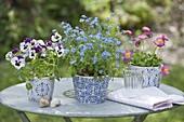 Blue-white pots with Myosotis 'Myomark' (forget-me-not)