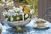 Easter basket with viola cornuta Callisto 'White' (horn violet)