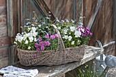 Basket with viola cornuta Callisto 'White' (horn violet), Dianthus