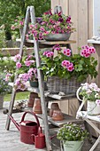 Balcony flowers on shelf of old wooden ladder