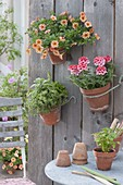 Clay pots hanging on wooden wall, Calibrachoa Aloha Kona 'Mango'