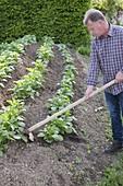 Growing potatoes in the hillside