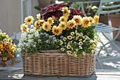 Basket with Dahlia Medio 'Golden Eye', Lobularia 'White Princess'
