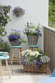 Blue and white balcony in baskets, Heliotropium 'Blue Bouquet'