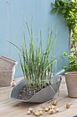 Jungpflanzen von Lauch, Porree (Allium porrum)
