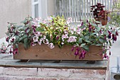 Wooden box with shade-planting fuchsia Bella Fuchsia 'Soila'