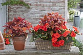Shadow box with Coleus 'Spitfire' (stinging nettle) and Impatiens