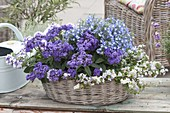 Basket bowl planted blue-white, Heliotropium 'Blue Bouquet'