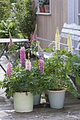 Terrace with lupins in pots