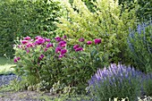 Flowerbed with Paeonia lactiflora 'Pink Double' (Peony)
