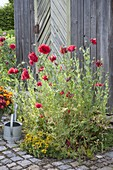 Papaver somniferum with red flowers on the tool shed