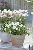 Aquilegia vulgaris 'Winky Rose', and Viola cornuta 'White'