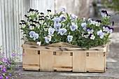 Woodchip basket planted with Viola cornuta 'Purple & White', 'Marina'
