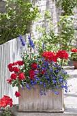 Terracotta box in red-blue, Verbena Empress 'Flair Red'