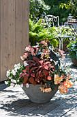 Begonia Fragrant Falls 'Peach' (Fragrance Begonia)