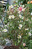 Cistus laurifolius (Laurel-leaved Cistus)