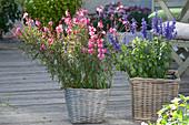 Gaura 'Lillipop Pink' (superb candles) and Salvia farinacea