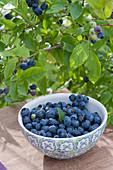 Freshly picked blueberry 'Berkeley' (Vaccinium corymbosum)