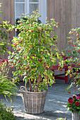 Raspberry 'Sanibelle' (Rubus idaeus) in basket planter