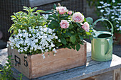 Wooden box with Campanula (bellflower), Rosa (pot rose)