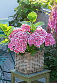Hydrangea macrophylla 'Tivoli' pink (two-tone hydrangea)