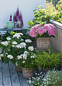 Hydrangea macrophylla 'The Bride' 'Tivoli Pink'