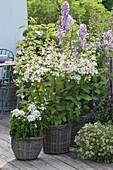 Hydrangea paniculata 'Tardiva' (panicle hydrangea)