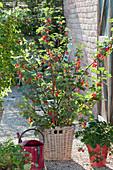Red currant 'Jonkher Van Tets'