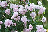 Rosa 'Rosenholm' (climbing rose), Poulsen 2000