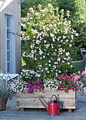 Rosa 'Rosenholm' in the self-made wooden box as privacy screen
