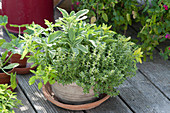Herb mix Barbecue gold in terracotta, lemon thyme