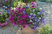 Petunia surfinia 'Purple', Conchita 'Azur' as a duo in the bucket