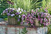 Petunia Bonnie 'Carmine Star', 'Purple Star' (petunia)