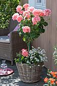 Pelargonium zonal 'Classic Helena' (Standing Geranium)