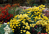 Autumnal bed with Chrysanthemum indicum (autumn chrysanthemum)