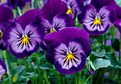 Viola wittrockiana 'Lavender Blue' (Pansy)