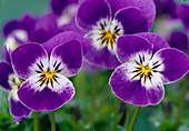 Viola cornuta Callisto 'Purple Bright Face'
