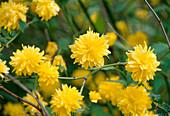 Kerria japonica 'Pleniflora' / Ranunculus shrub