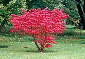 Euonymus alatus 'Compactus' (Corkstring spindle shrub)