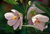 Abutilon hybrids 'Eric Rose'