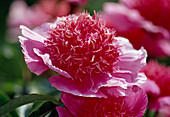 Paeonia lactiflora 'Break O Day' (Japanese Peony)