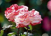 Pink 'nostalgia', fragrant, more flowering