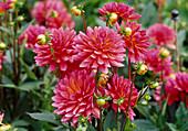 Dahlia Hyb 'Karma Fuchsiana' (decorative dahlia)