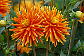 Dahlia hortensis 'Golden Orange' (Cactus Dahlia)