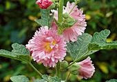 Alcea rosea Majorette double / halbgefuellte Stockrose Bl 01