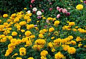 Tagetes erecta 'Antigua' (African marigold)
