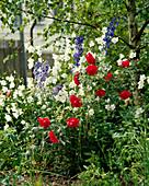 Campanula persicifolia'grandiflora alba'