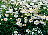 Leucanthemum maximum (summer chrysanthemum)