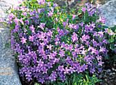Campanula portenschlagiana bellflower