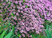 Thymus serpyllum (creeping thyme) in beautiful blossom
